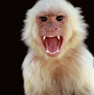 angry-monkey-albino